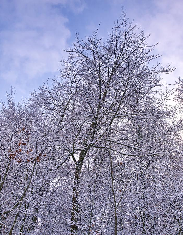 Bare trees forest covered with snow and cloudy sky, winter scene royalty free stock images