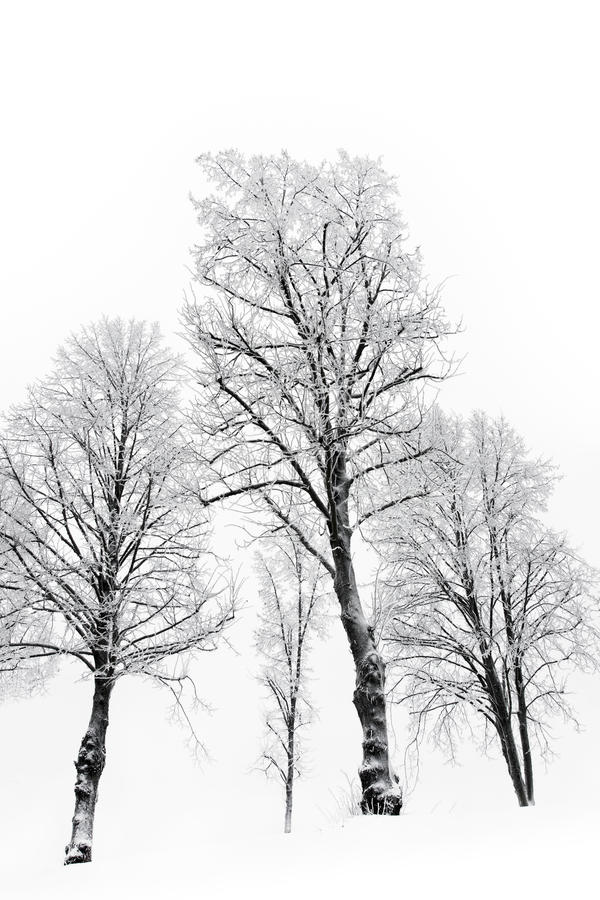 Bare trees with hoar frost. A small grove of bare trees with hoar frost royalty free stock image