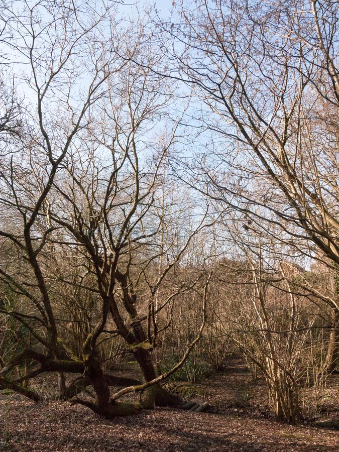 bare trees inside forest spring time tall royalty free stock image