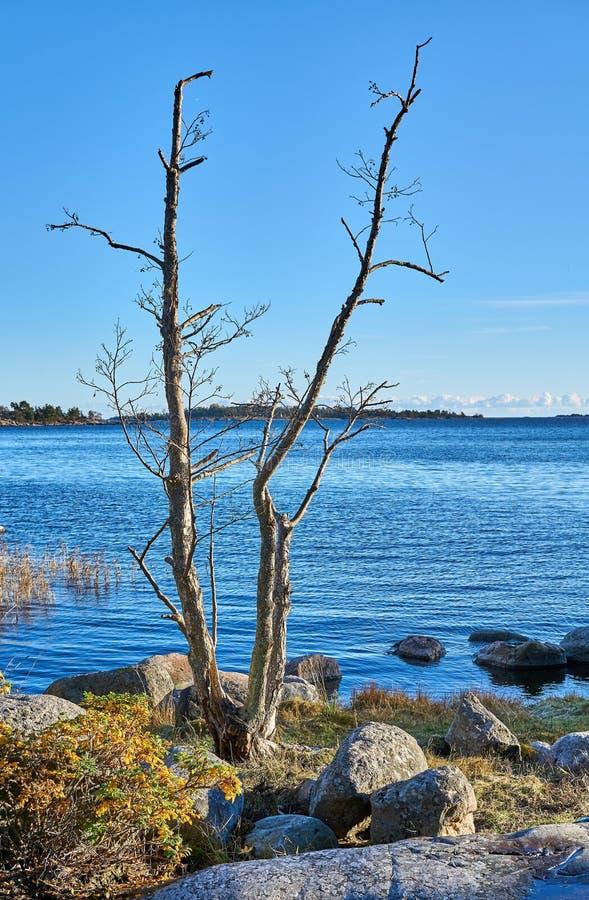 Bare trees in seashore royalty free stock image