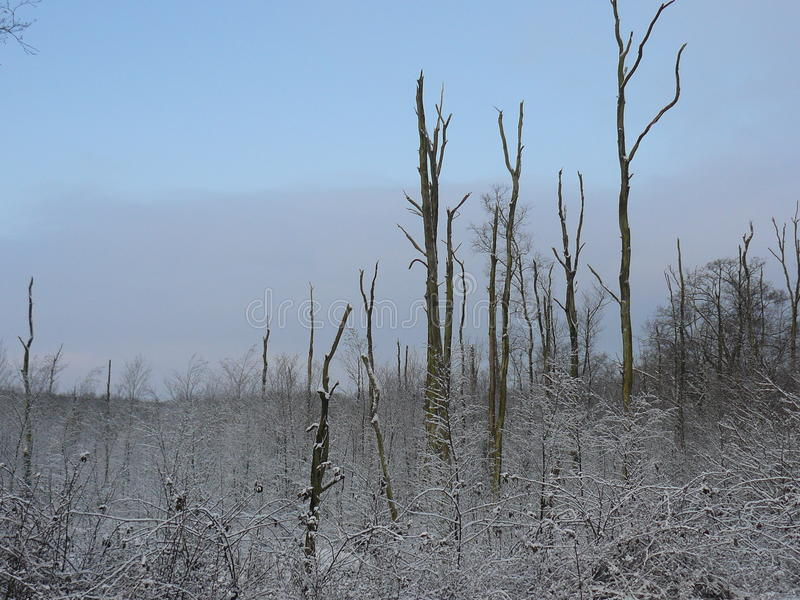 Bare trees in the snow royalty free stock photos