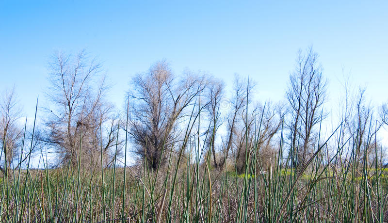 Bare Trees With Tules In Foreground Stock Photography