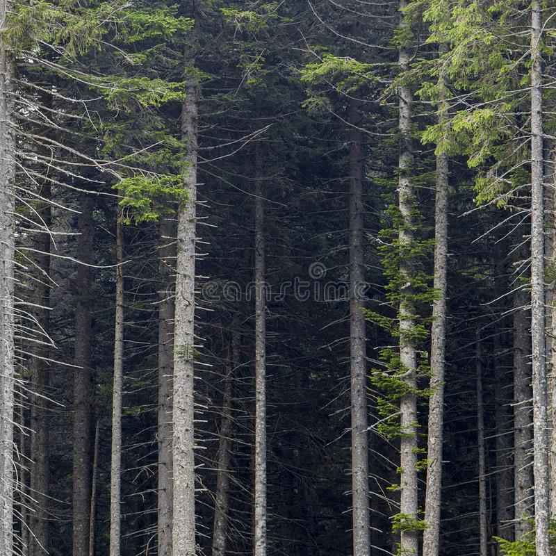 Bare trunks of pine trees in the dense forest. Frontal view royalty free stock image