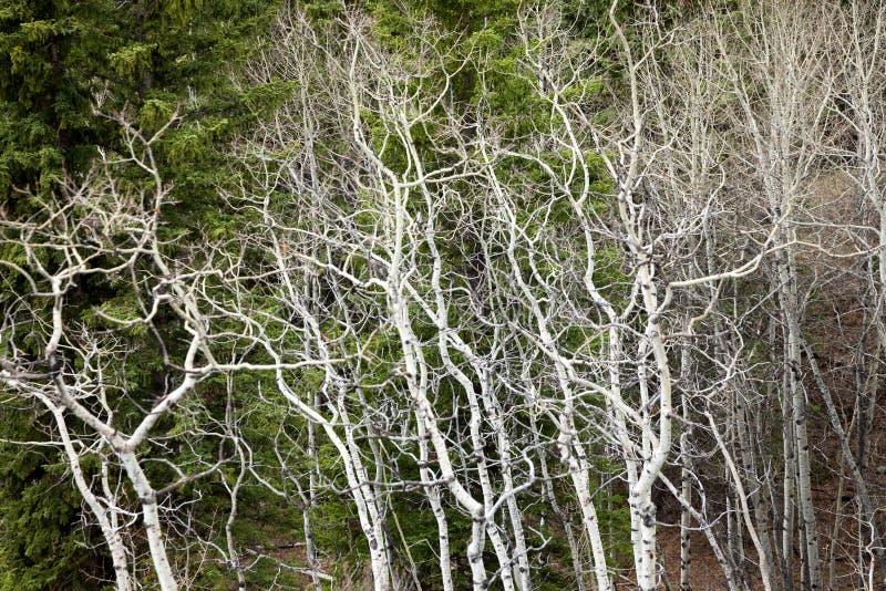 Bare white aspen trees in the springtime royalty free stock photos