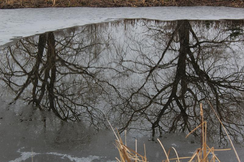 Bare willow trees reflected on the surface of an icy pond in December in Nova Scotia. A still pond in winter as the snow begins to fall royalty free stock photo