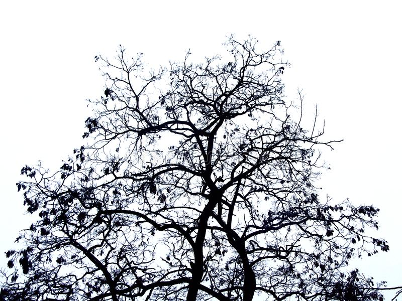Bare winter black locust tree trop silhouette, isolated on white royalty free stock photography