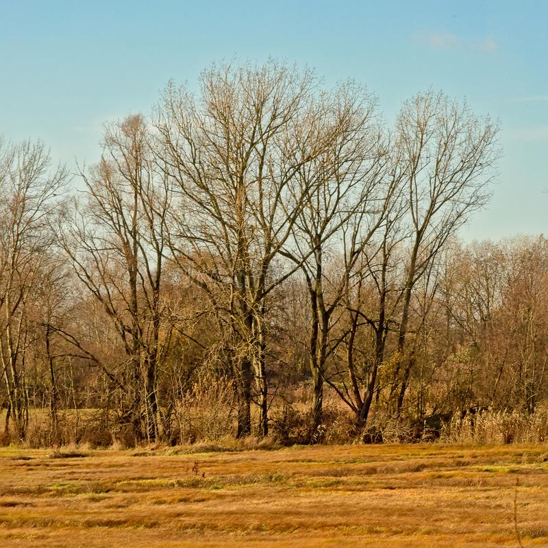 Bare winter elm trees in a sunny marsh landscape with meadows with dried golden gras and reed stock images