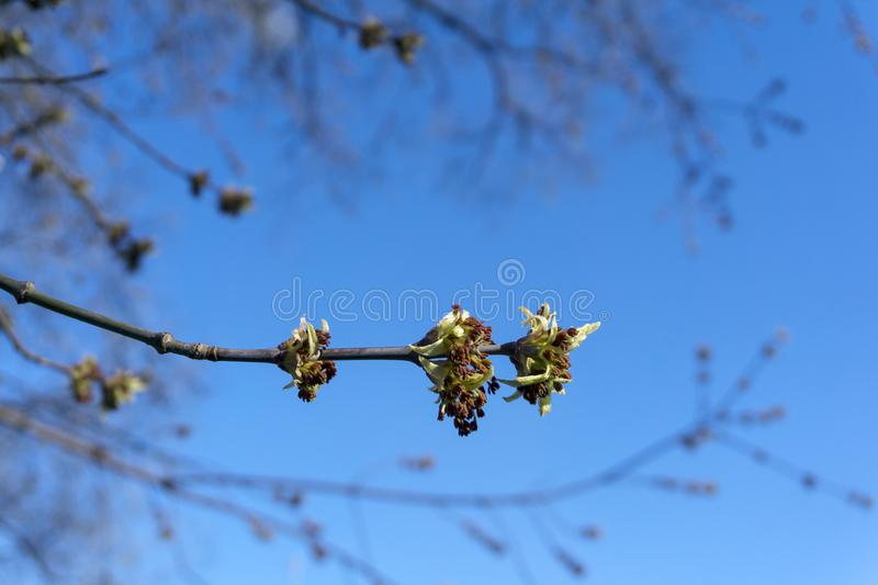 Barely opened maple buds. Barely bloomed in spring leaflets and inflorescences of maple tree closeup on blurred background stock images