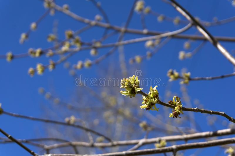 Barely opened maple buds. Barely bloomed in spring leaflets and inflorescences of maple tree closeup on a light blurred background stock image