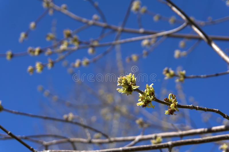 Barely opened maple buds. Barely bloomed in spring leaflets and inflorescences of maple tree closeup on a light blurred background stock photography