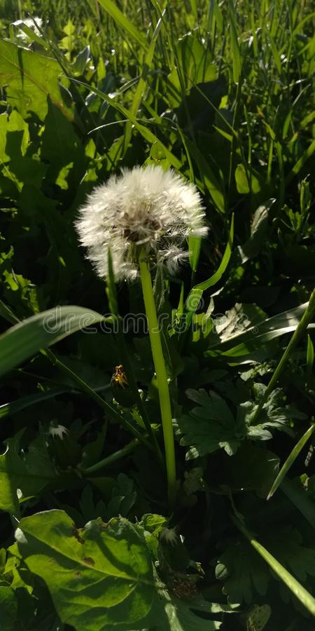 White fluffy dandelion in green grass. Barely in the spring the snow melts, around houses, in gardens and fields there among the emerald grass, the sun. Then stock photos
