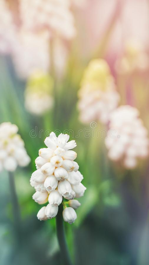 The barely thawed earth white blooming Scilla spring flowers.  stock image