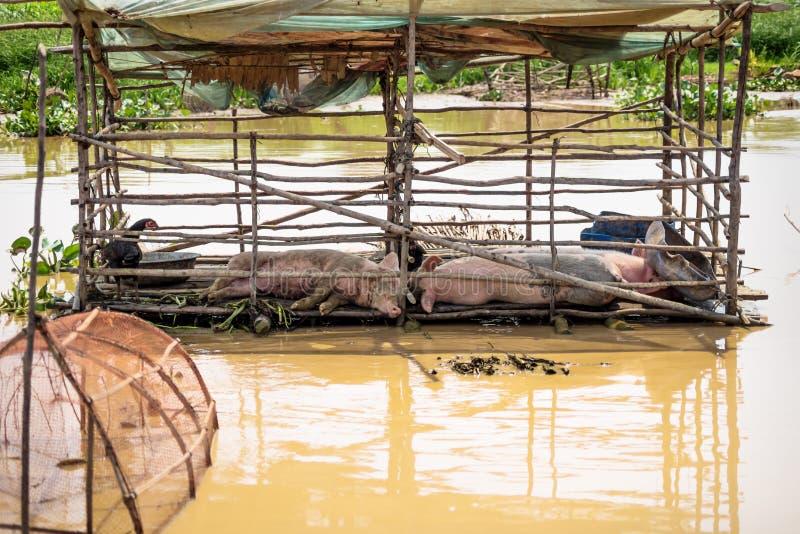 Barile di maiale galleggiante nel villaggio del Lago Tonle Sap a Puok, provincia di Siem Reap, Cambogia immagine stock libera da diritti