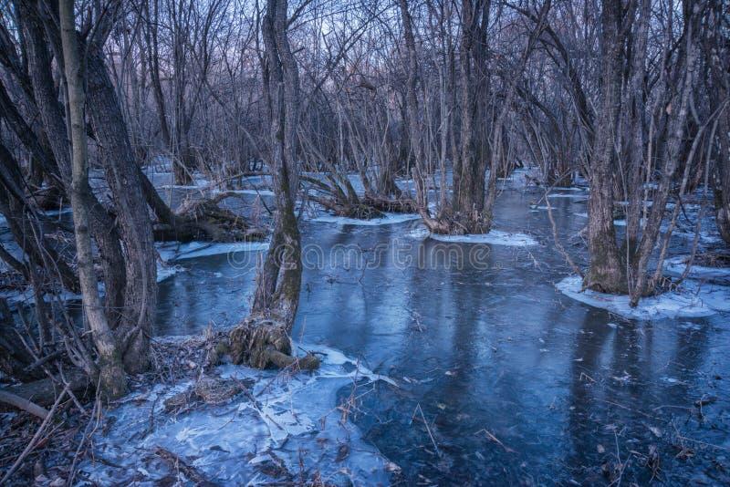 Barilotti scuri delle mangrovie morte che crescono in una palude o in un fiume basso, coperti di ghiaccio Fotografato alla conclu immagini stock