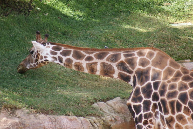 Baringo giraff - Giraffacamelopardalisrothschildii royaltyfri foto