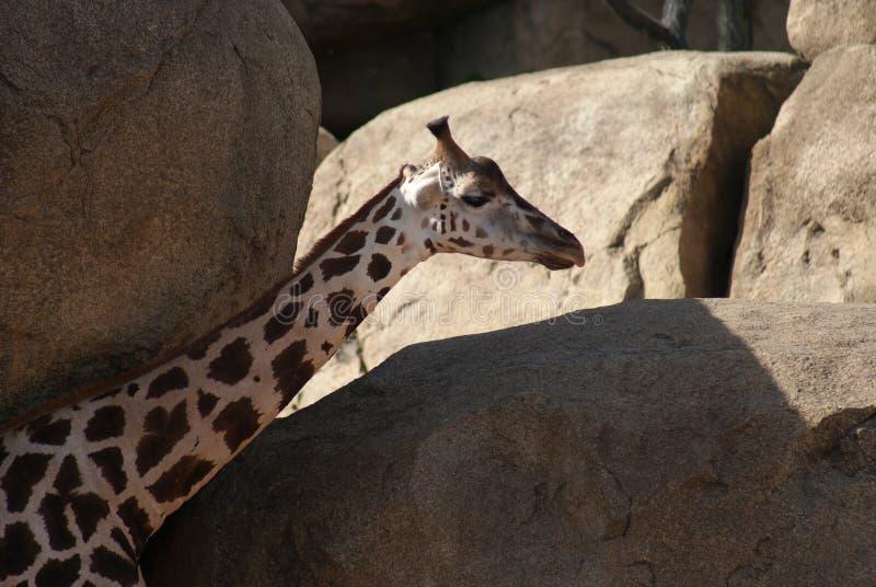 Baringo giraff - Giraffacamelopardalisrothschildii royaltyfri fotografi