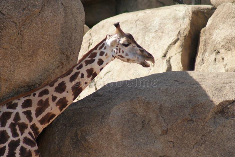 Baringo giraff - Giraffacamelopardalisrothschildii arkivfoto