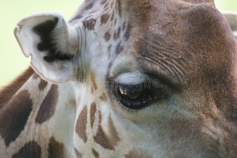 Baringo giraff - Giraffacamelopardalisrothschildii arkivbild