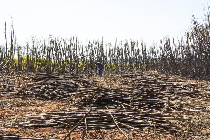 Sugar cane harvesting. Bariri, Sao Paulo, Brazil, October 10, 2008. labour harvest sugar cane, Brazil stock photos