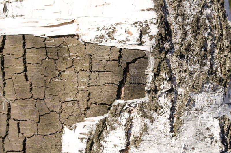 bark Árvore Casca de madeira Camada superior removida do vidoeiro r Textura de madeira foto de stock royalty free