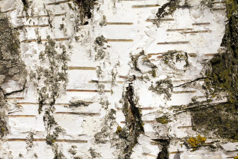 Download Bark stock photo. Image of cracked, material, live, abstraction - 13529194