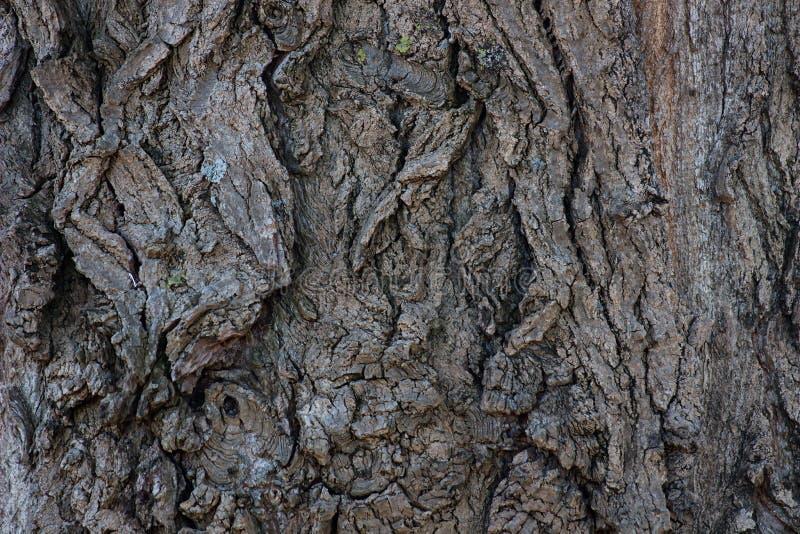 Bark of alder. Cracked bark of alder in winter royalty free stock images