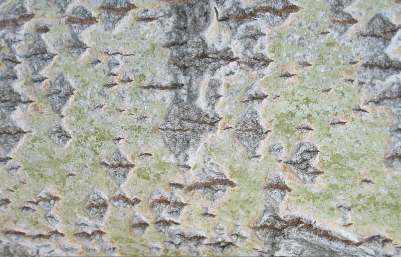 Bark of an aspen 2 royalty free stock photo