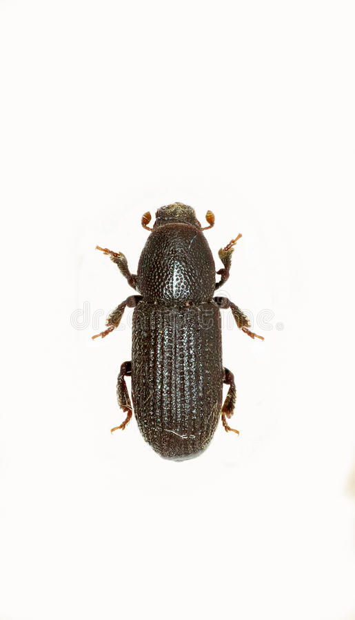 Bark Beetle on white Background royalty free stock image