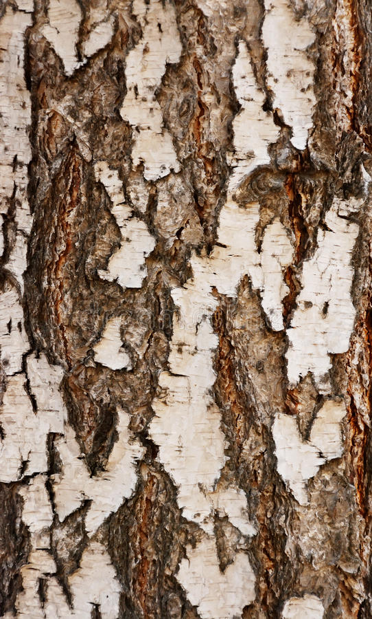 Bark of a birch royalty free stock images