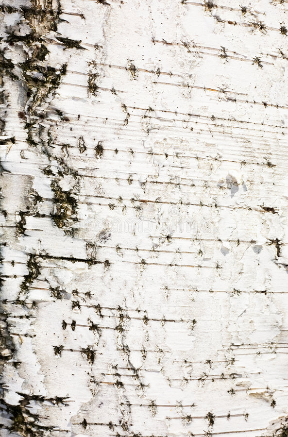 Bark of a birch. Surface of a white bark of a birch stock images