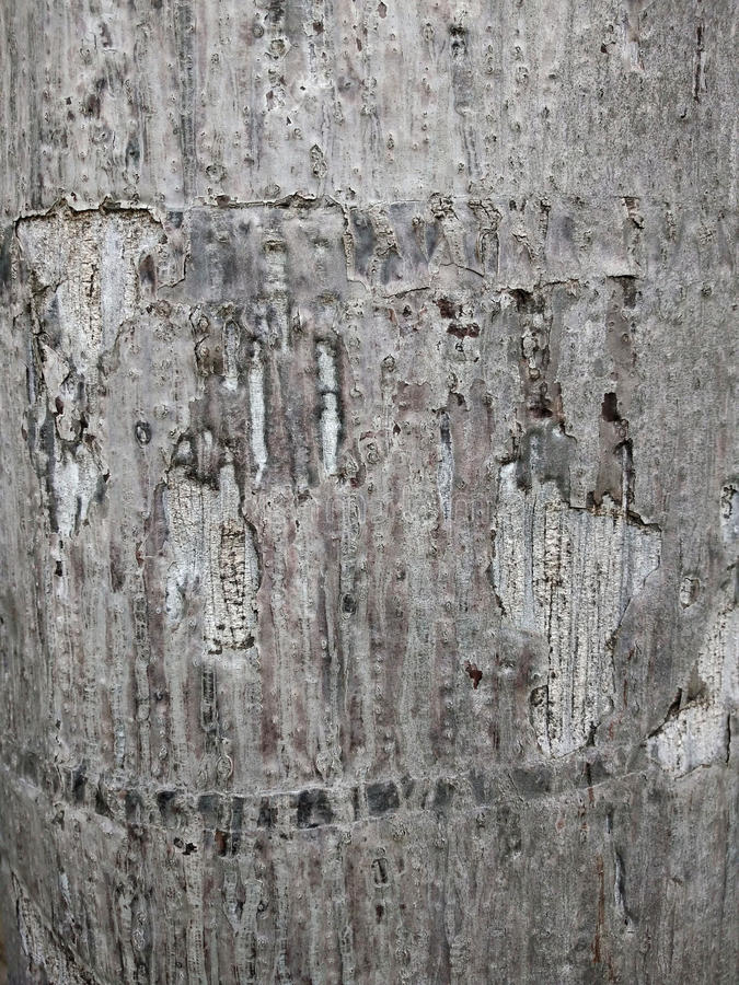 Bark Brown,The surface of the bark,bark brown in the garden,Cracks of trees,Background texture of tree bark. Skin the bark of a t royalty free stock photo
