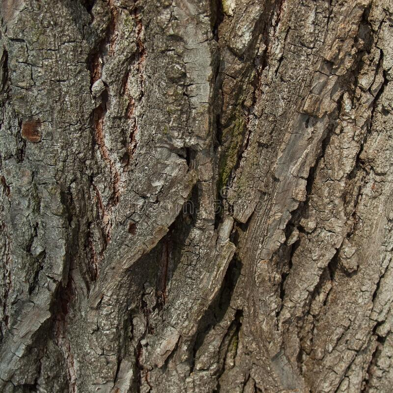 Bark of the century old lime tree. Rough bark of the century old lime tree, close up, background pattern royalty free stock photography