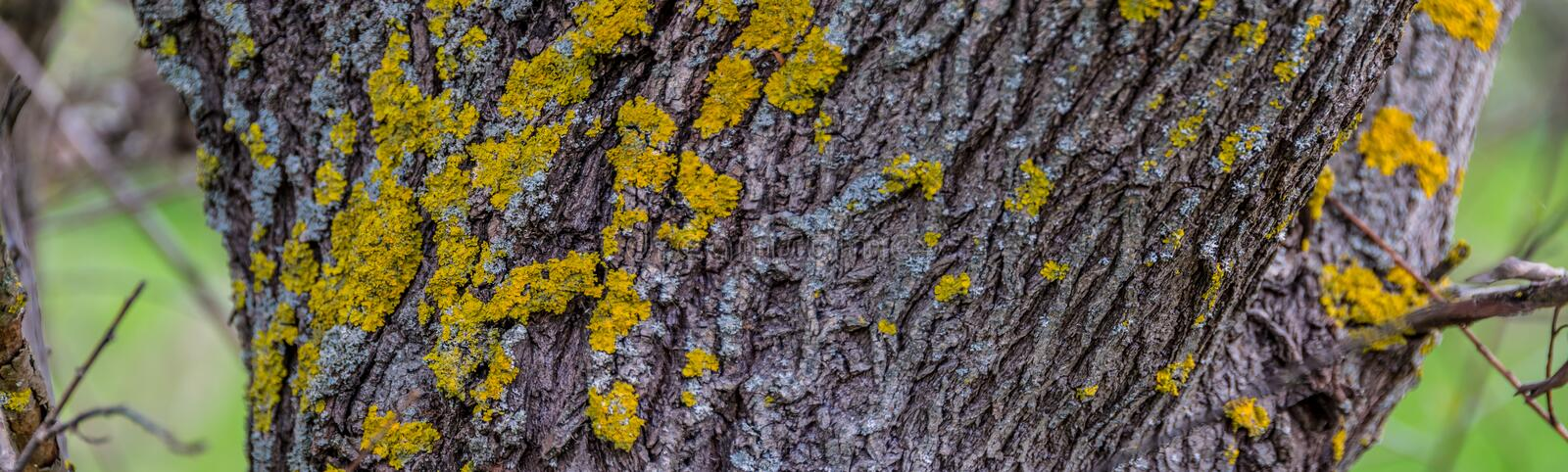 Bark of tree covered with moss. Bark covered with moss. Wide picture of wooden texture on blurred background stock photos