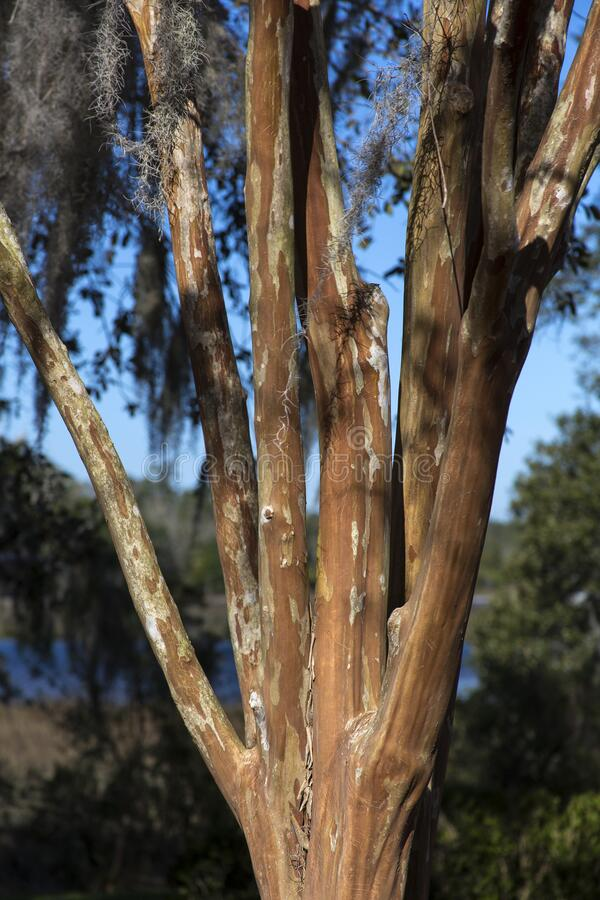 Crepe myrtle tree in sunlight stock photography