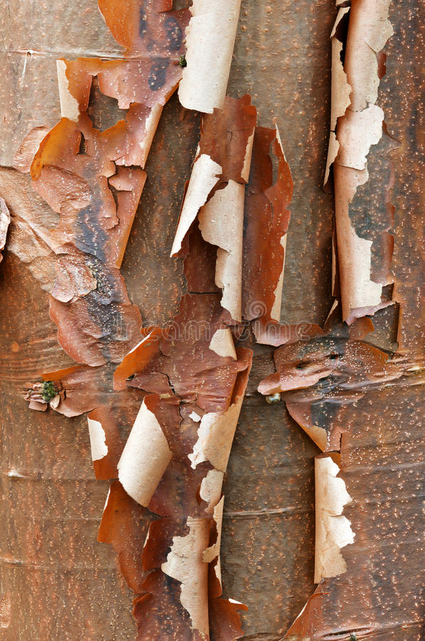 Bark Detail Of The Paperbark Maple Royalty Free Stock Image