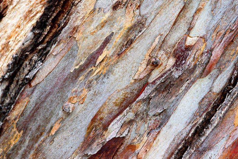Bark eucalyptus stock photo