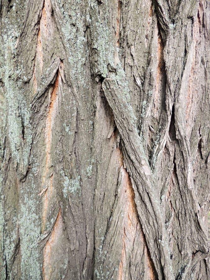 Bark on false acacia (Robinia pseudoacacia) stock image