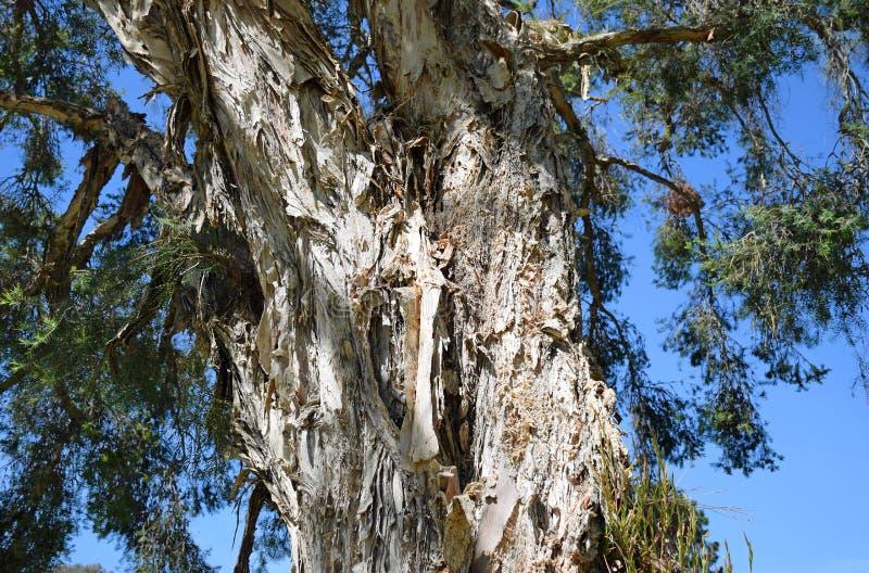 Bark of the Flax Paperbark tree or Melaleuca linariifolia in Laguna Woods, California. Image shows the bark of the Flax Paperbark tree or Melaleuca linariifolia stock image
