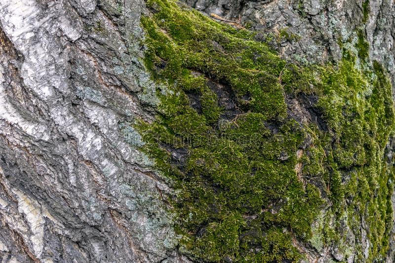 Moss occurring on the bark of a large, old birch in the forest stock images