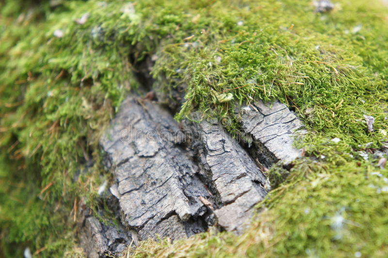 bark and moss royalty free stock image