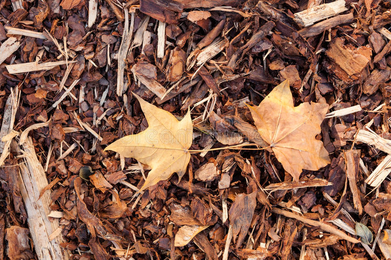 Bark mulch and autumn maple leaves royalty free stock image