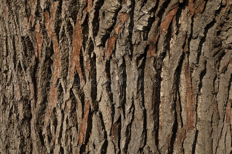 Bark of an Oak tree royalty free stock photo
