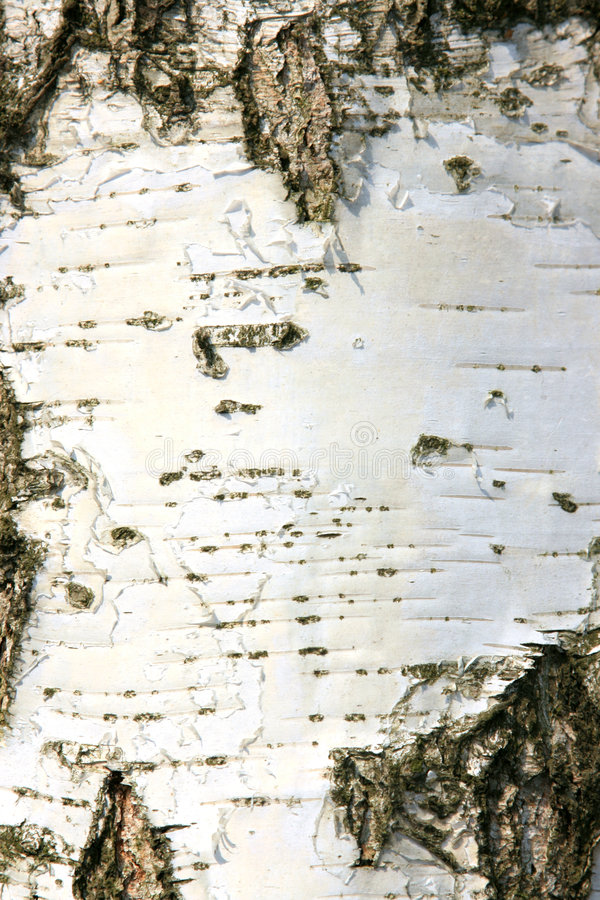 Free Bark Of A Birch Stock Photography - 4811032