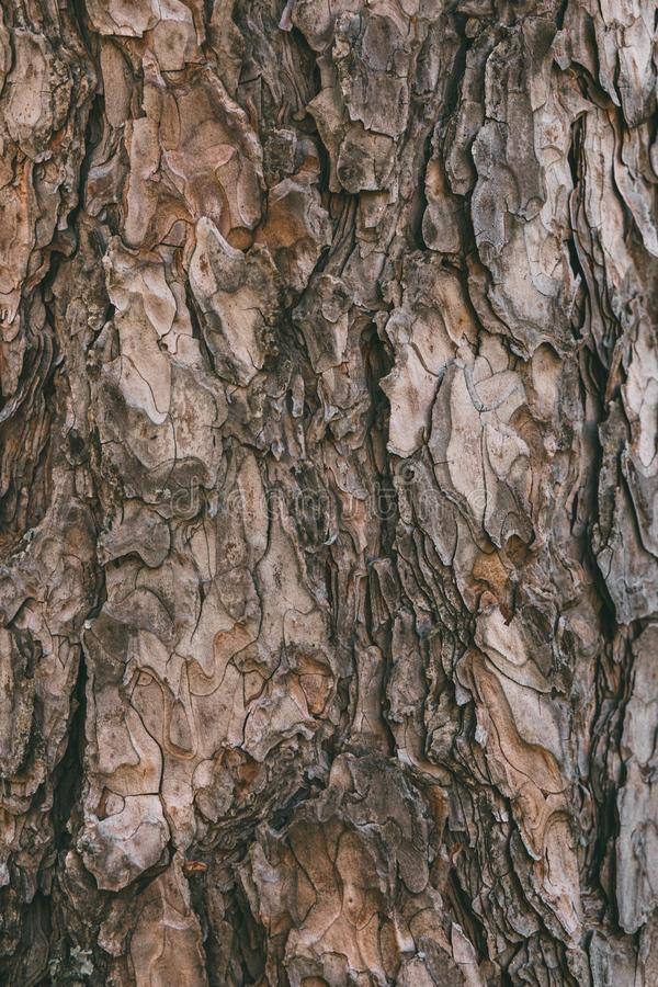 Free Bark Of Pine Tree Texture And Background. Close Up View Of Old And Rough Pine Bark. Stock Images - 142441564