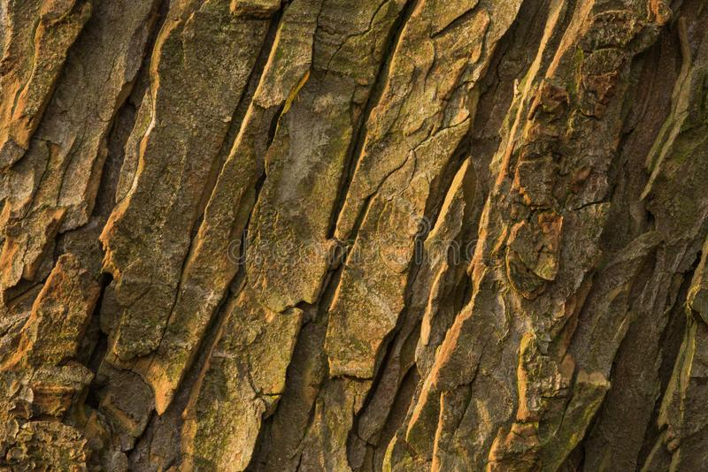 Bark of old conker tree. Shot during sunset, testures are visible royalty free stock photography