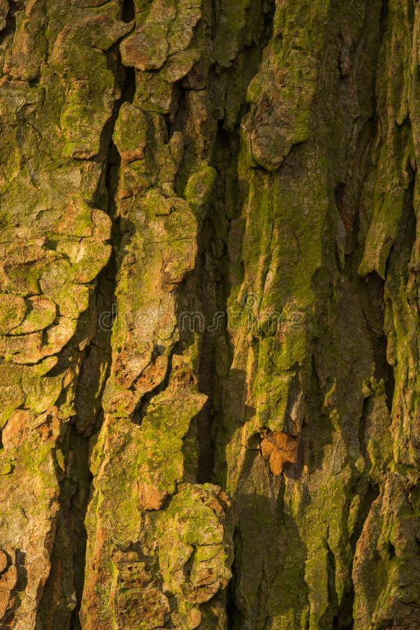 Bark of old conker tree. Shot during sunset, testures are visible stock photography