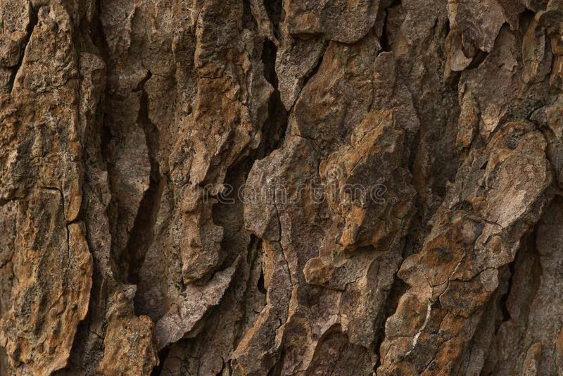Bark of old conker tree. Shot during sunset, testures are visible stock image