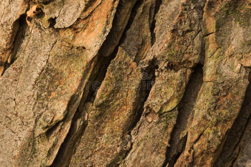 Bark of old conker tree. Shot during sunset, testures are visible stock photo