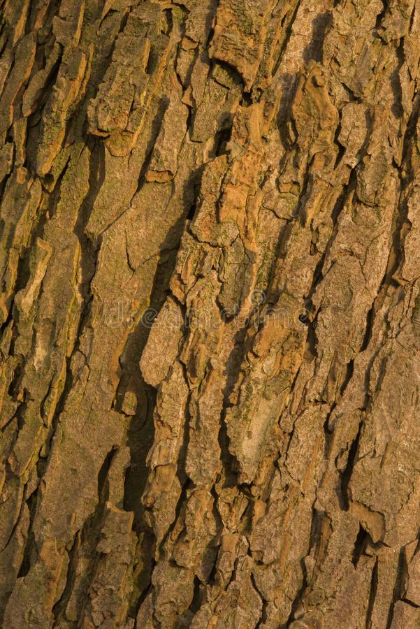 Bark of old conker tree. Shot during sunset, testures are visible royalty free stock photos