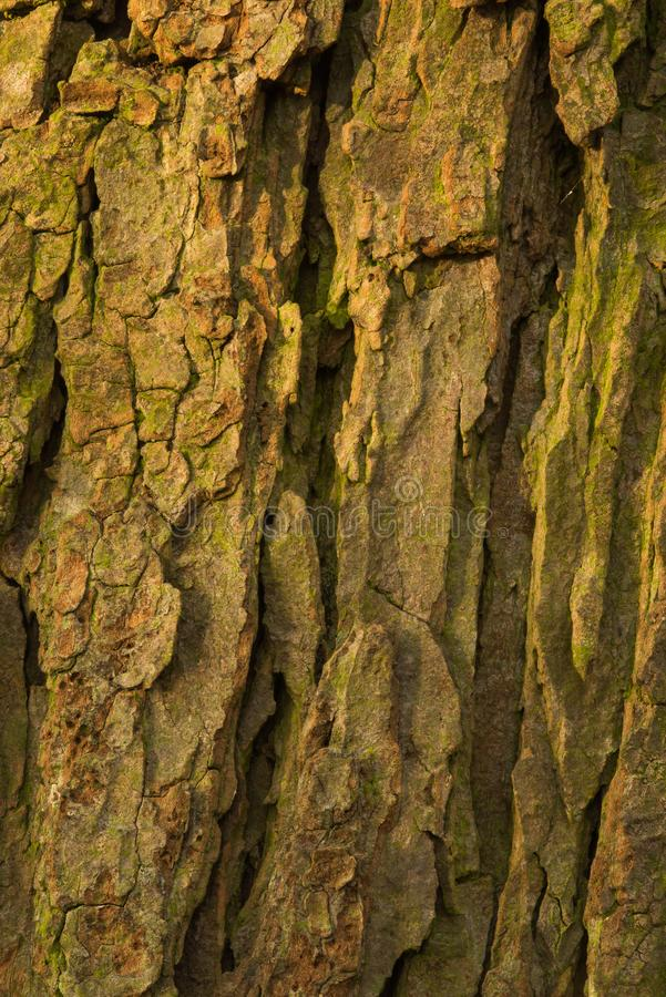 Bark of old conker tree. Shot during sunset, testures are visible stock photos